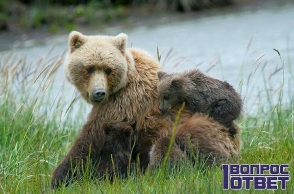 drömmar om björnar