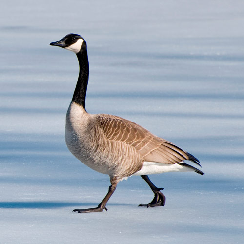 100 Pics Animals 18 Level Answer CANADA GOOSE