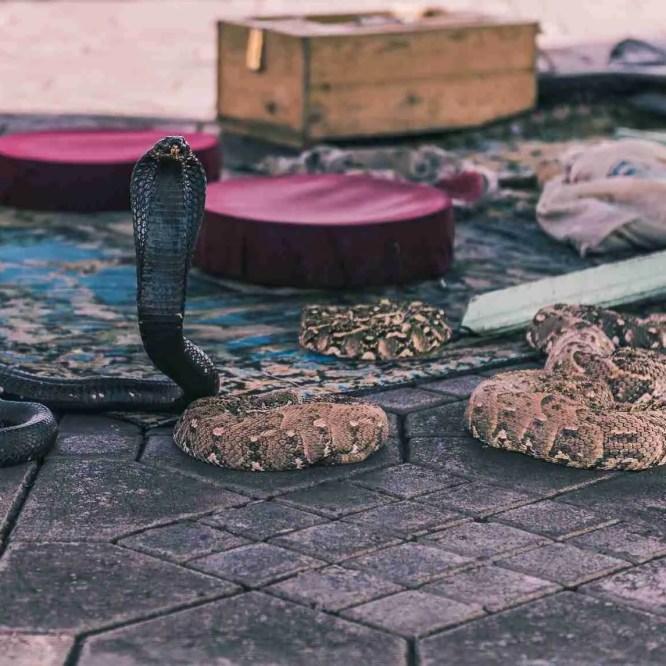 africa, animal, background, black, charmer, city, cobra, danger, djemaa, el, fna, hand, jemaa, man, marrakech, marrakesh, morocco, one, reptile, show, snake, square, tourism, travel