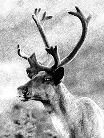 Mountain Caribou portrait