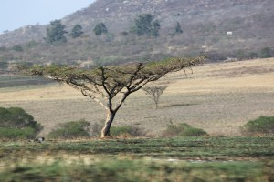 flat African tree