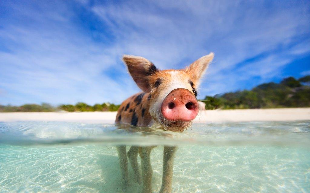 home-pig