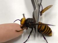素手でいくのかよwwwオオスズメバチに噛まれてみたとかやってるDr.おこじょさんの動画が面白い。