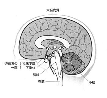 新しい脳と古い脳