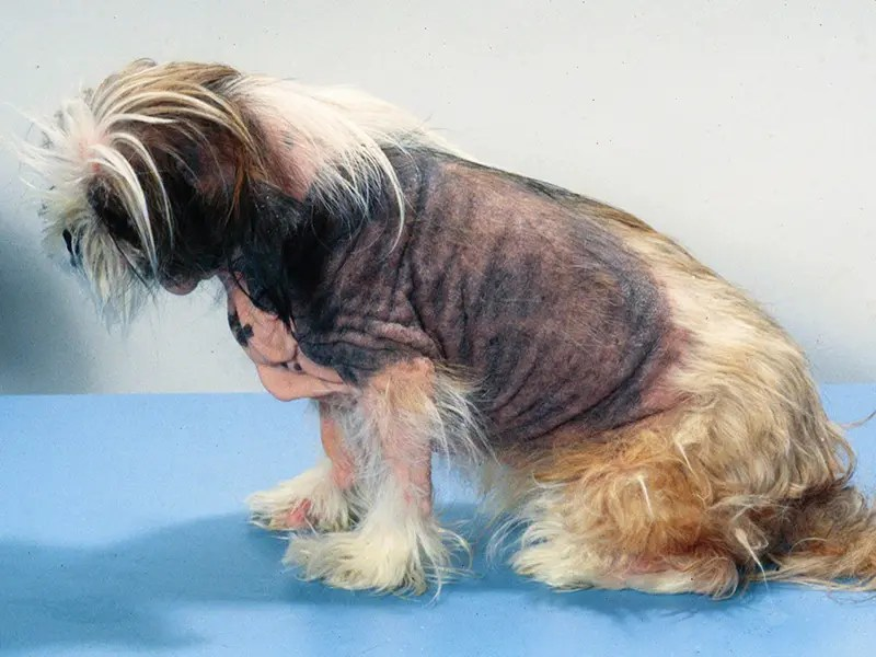 Image Result For Shih Tzu Allergies Treatment