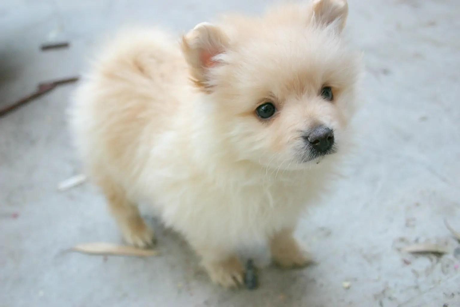 Jack Russell Terrier Female