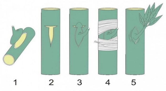 como-enxertar-as-arvores2