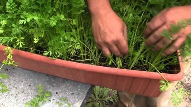 cultivar_cenouras