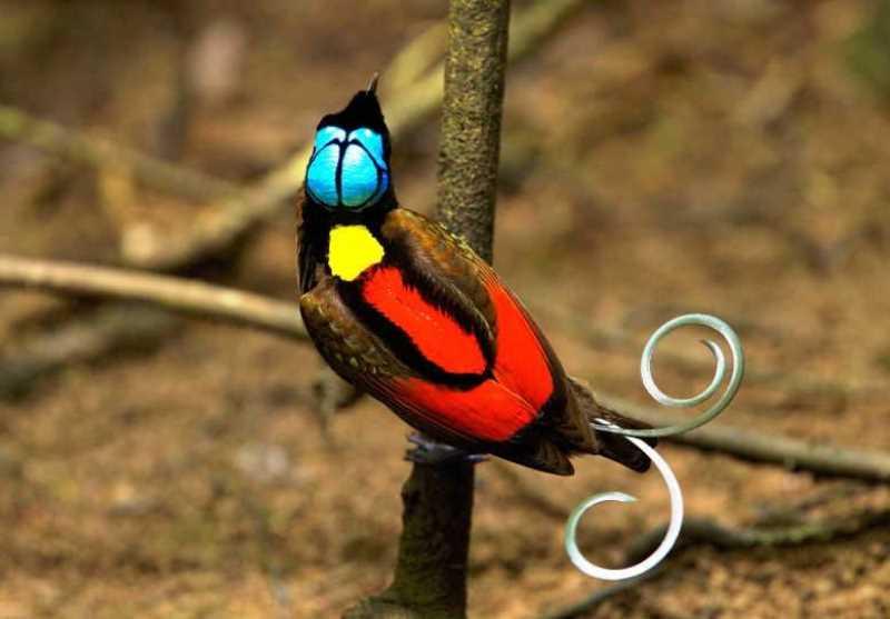 Cendrawasih Botak, Kecantikan Burung Endemik Raja Ampat