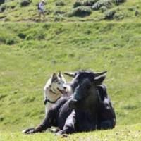 Tipps von Österreichs Wanderdörfer e.V. zu Wanderungen mit Kuhkontakt