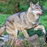 Mit dem Wolfsflüsterer im Pfälzerwald unterwegs