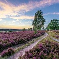 Lüneburger Heide erwartet frühere Heideblüte