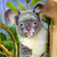 Koalas, Korallen und Kunst