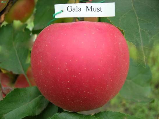 Яблоня Гала: описание сорта с фото, отзывы. Посадка и уход