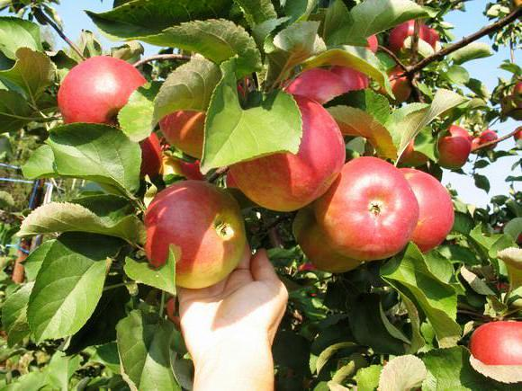 Сорт яблони услада фото и описание сорта