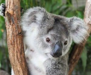 Koalas-HD-Wallpapers-1-1 (1)