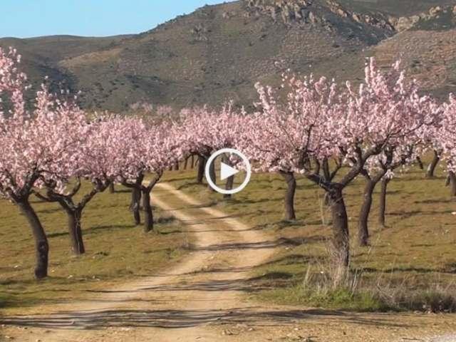 Encantadoras Amendoeiras em Flor