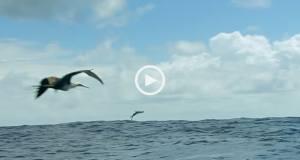 Inacreditável! Peixes que voam!