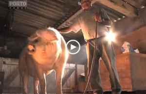 600 kg! O Maior Porco de Portugal?