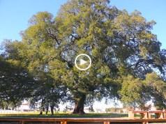 Sobreiro português é o maior e mais velho do mundo