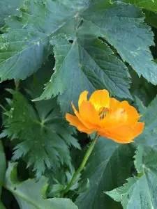 シナノキンバイより花が大きく、ふっくら