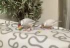 トウモロコシを食べる文鳥