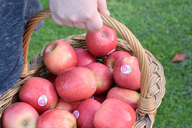 A close up of the Pink Lady apples being carried in a basket