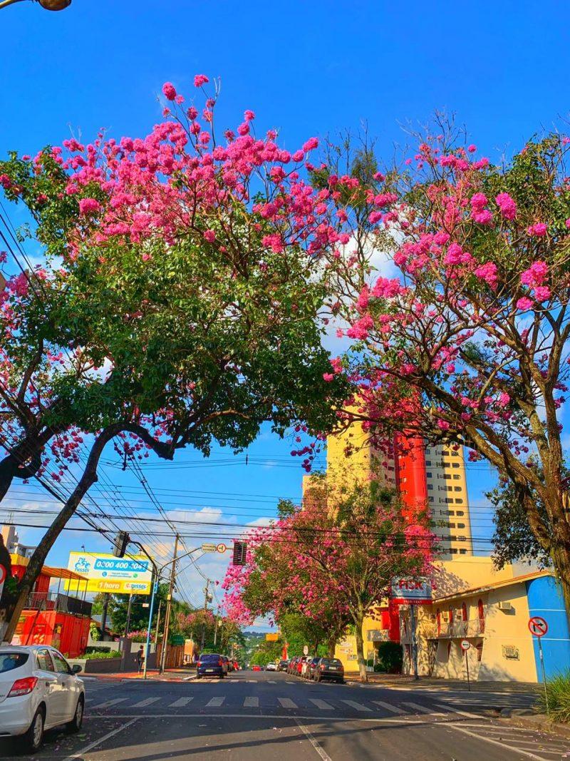 Árvores floridas no centro de Foz do Iguaçu
