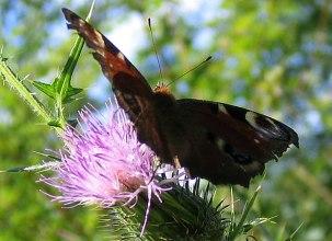 bilder_butterfly_07
