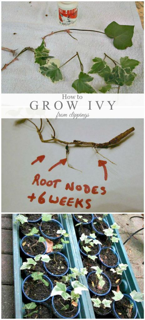 Propagating ivy / how to grow ivy from clippings