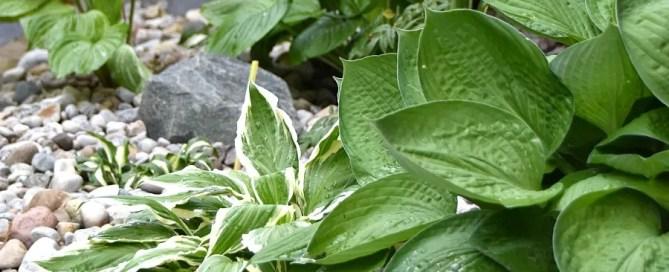Hosta garden, rock garden, shade garden, walkway garden, pathway garden, small garden, hostas, astilbe