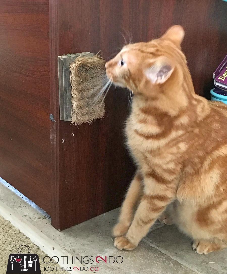 Cat scratcher, cat scratch, orange tabby, Phoebe