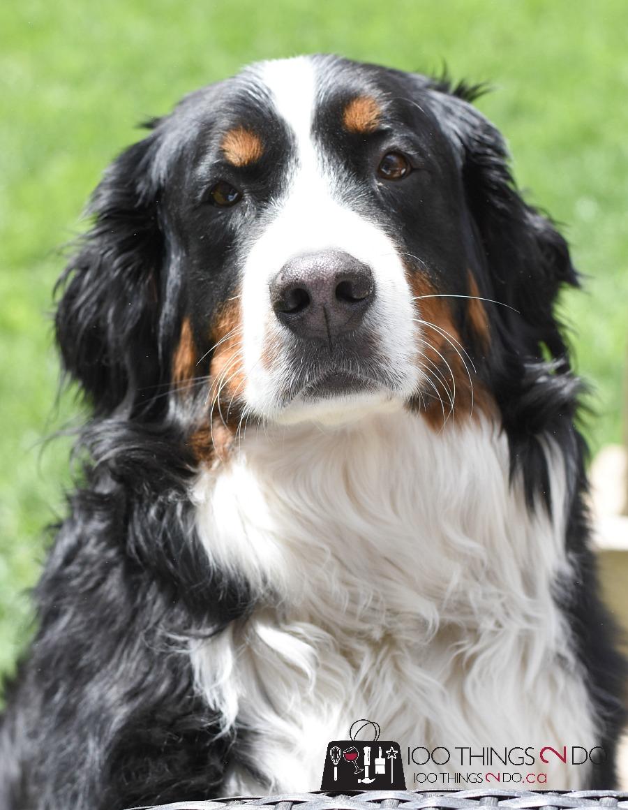 Bernese Mountain Dog, Lacey