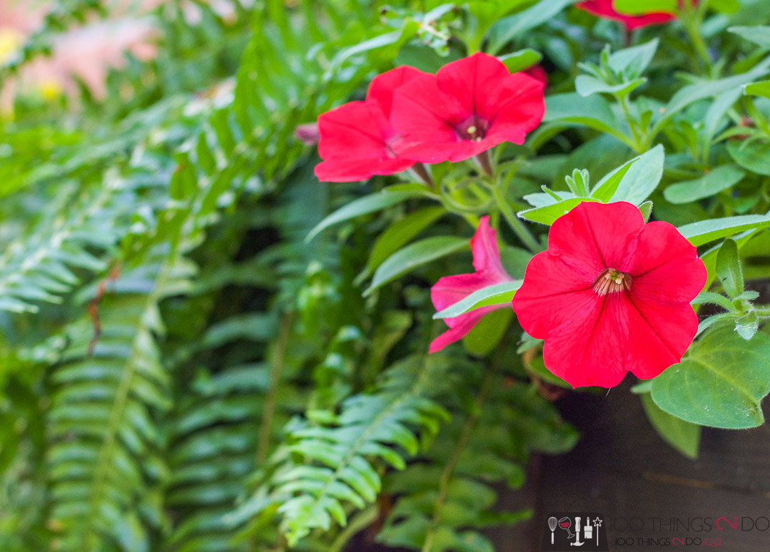 petunias and ferns in window box