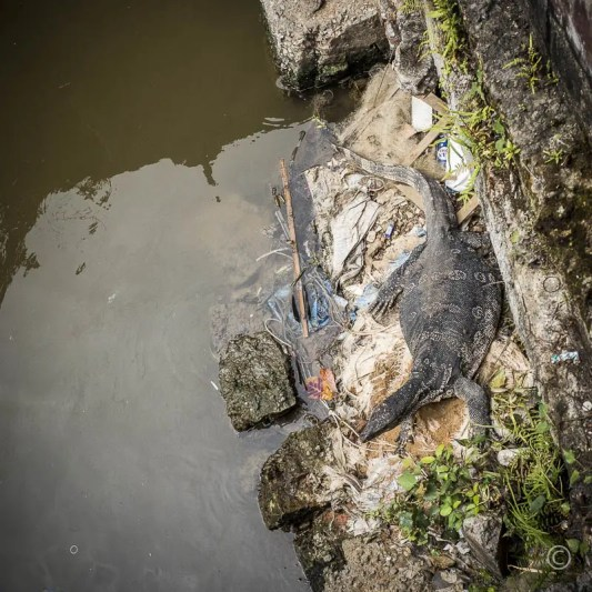 Water Monitor Lizard, Bangkok