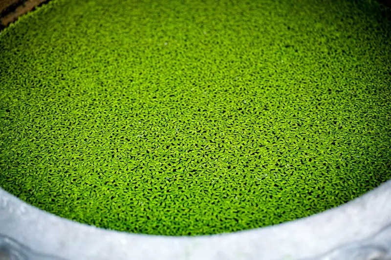 Azolla, water plant
