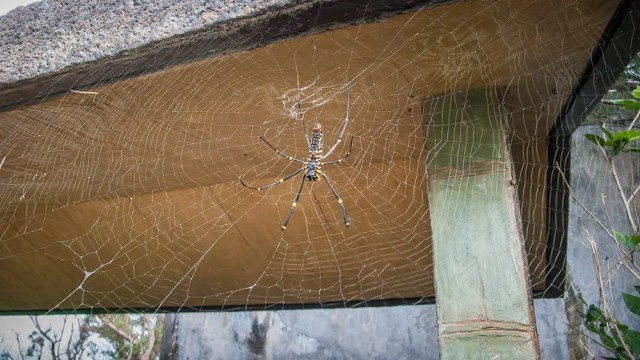 Spider, bus shelter Iriomote