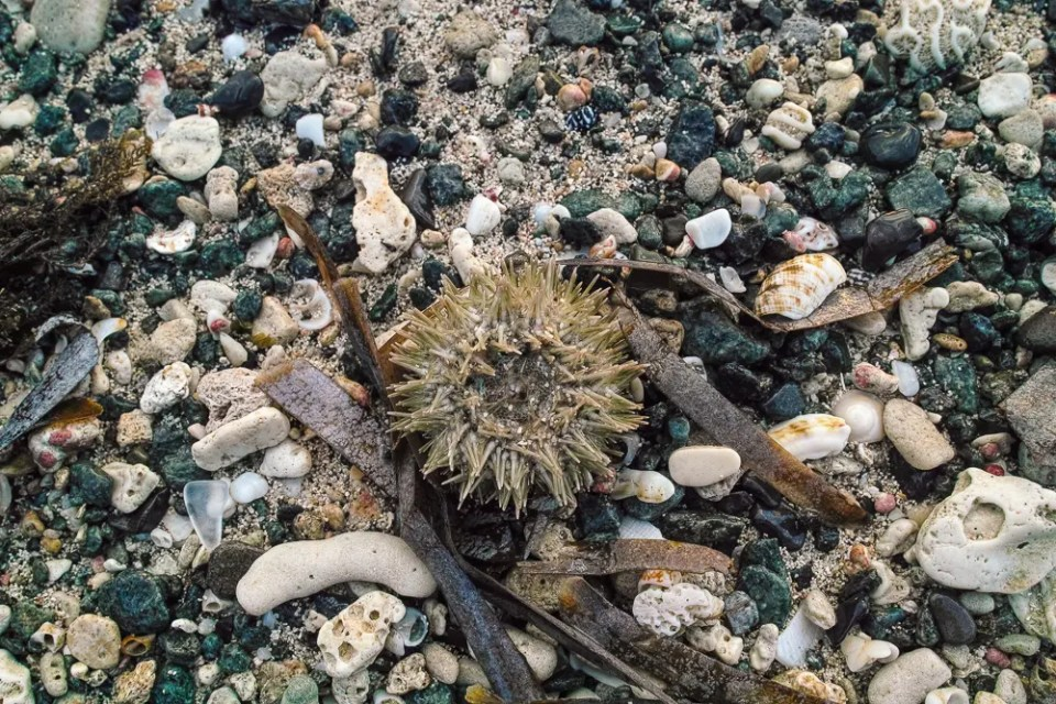 See urchin