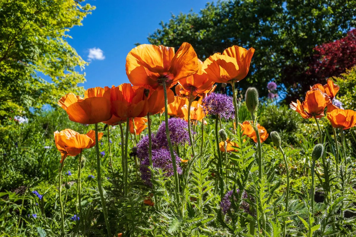 High Park poppies
