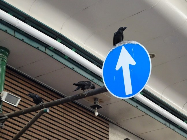 Crows in the shopping district