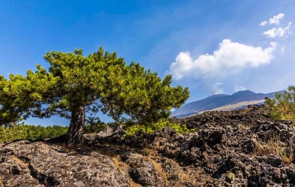 Etna, un albero tra le colate laviche