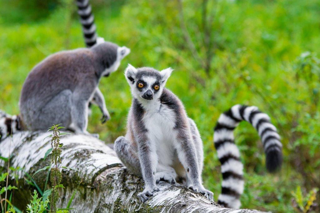 Madagaskar adasının sembolü Lemurlar