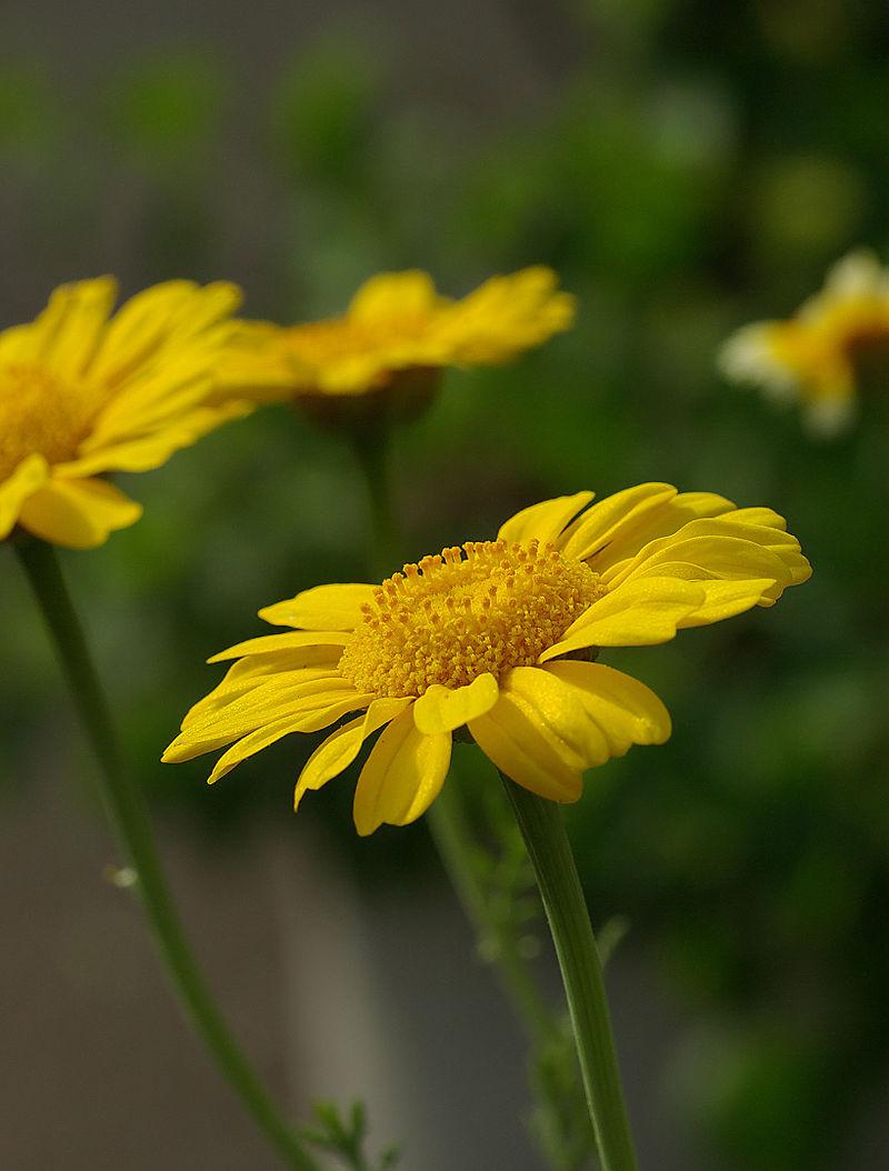 800px-Chrysanthemum_coronarium_May_2008