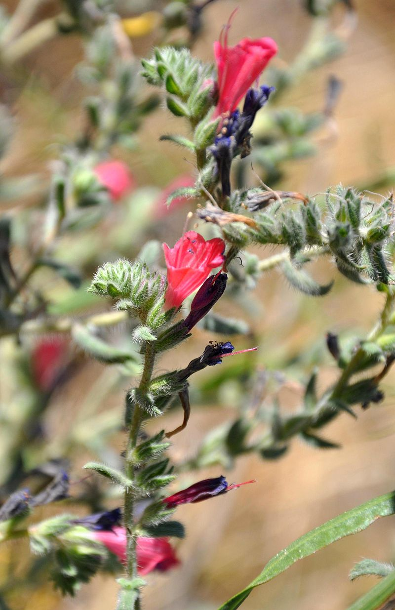 Echium_judaeum_Judean_Viper's_Bugloss_იუდეის_ძირწითელა_(2)