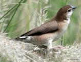 Indian Silverbill 2