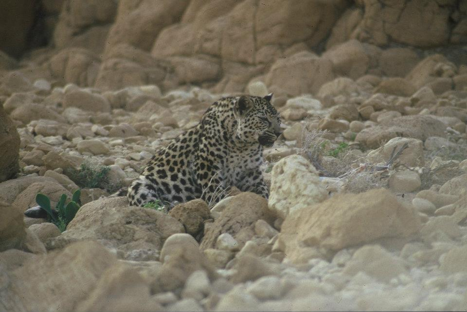 PikiWiki_Israel_21612_Leopard_in_the_Judean_desert_photographed_by