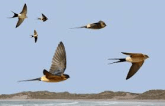Red Rumped Swallow 4