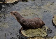 Eurasian Otter 1