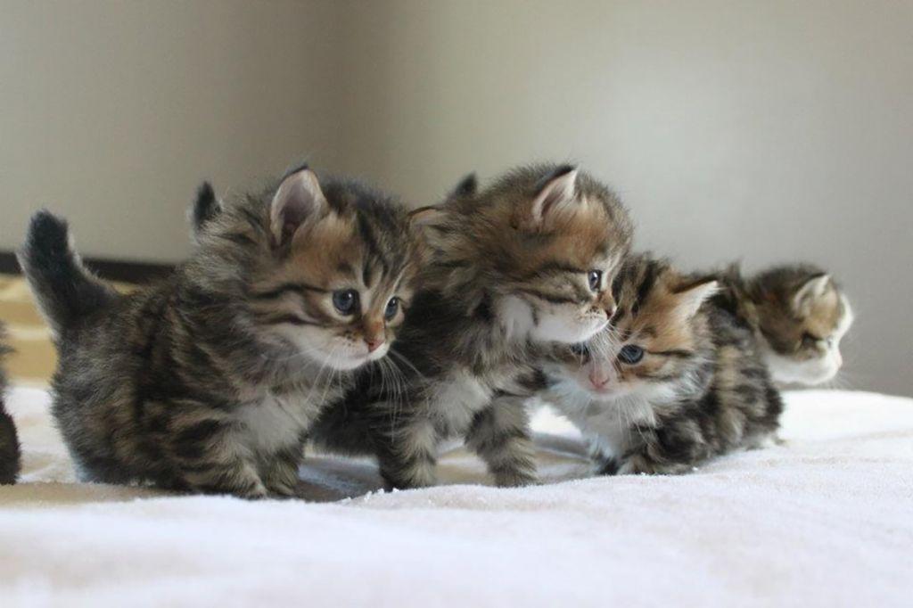 Сибирские котята.jpg