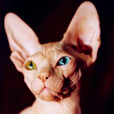 Кошки сфинксы Фото, описание, виды лысых кошек